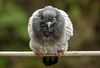 'Like a bird, on a wire' (Canadapt) Tags: pigeon wire closeup bird leonardcohen song sintra portugal