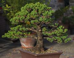 bonsai (Paolo Dell'Angelo (JourneyToItaly)) Tags: bonsai gorizia friuliveneziagiulia italia