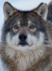 Ähtäri Zoo, Finland (Ninara) Tags: wolf ähtäri ähtärizoo winter animal susi zoo talvi