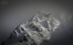 El vuelo del buitre/ The flight of the vulture (Jose Antonio. 62) Tags: mountains montañas buitre naturaleza nature snow nieve picosdeeuropa vulture vuelo flight