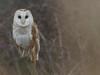 Barn Owl (ukstormchaser (A.k.a The Bug Whisperer)) Tags: barn owl owls uk bird birds raptor raptors milton keynes buckinghamshire wildlife hunting morning fencepost perched march spring