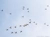 Flying High (swedeshutter) Tags: birds birdlife scandinavia gothenburg sweden torslandaviken torslanda swan swans goose geese ducks small forest springtime spring panasonic lumix g80 g81 g85 100300 ii 300mm nature