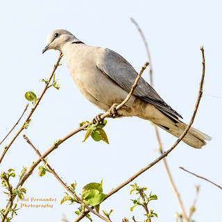 Cape Turtle Dove on a Branch at Chobe National Park, Botswana