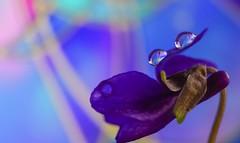 Violet - 4777 (ΨᗩSᗰIᘉᗴ HᗴᘉS +20 000 000 thx) Tags: flora flower drop macro violet hensyasmine namur belgium europa aaa namuroise look photo friends be wow yasminehens interest intersting eu fr greatphotographers lanamuroise