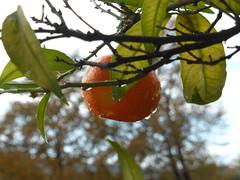 Drops!!  P1030832 (amalia_mar) Tags: drops crazytuesdaytheme mandarin leaves 7dwf sundaylights raindrops details bokeh