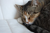 Indie 1 (hollyzade) Tags: nikond40 nikon domesticated pet pets cat cats home whiskers cute tabby