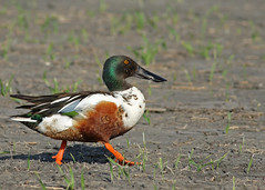 Northern Shoveler...#8 (Guy Lichter Photography - 4M views Thank you) Tags: northernshoveler canon 5d3 canada manitoba oakhammockmarsh wildlife animal animals bird birds male
