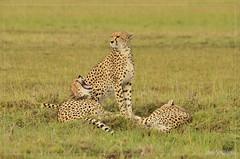 _DSC0791 (Eykat) Tags: pygargue africaneaglefish kenya massaïmara baringo bogoria haliaeetusvocifer mangouste mungosmungo circaete blackchestedsnakeeagle circaetuspectoralis cheetah guepard