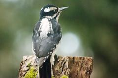 Hairy (iFl1ckr) Tags: bird wildlife woodpecker hairy dream flickrfriday