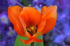 Tulipano (ironmember) Tags: fiore aiuola primopiano bokeh sfondosfuocato sfondosfumato tulipa tulipano cuoredelfiore pistilli polline concapturenx2 conviewnx2 nikond90 tamron300mm tamron16300 manolibera luceambiente desenzanodelgarda perfettecromie macro closeup moltovicino