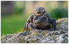 Mr & Mrs Toad (Linz27) Tags: copyrightlindseybowes nikond7100 nikon105mm garden toad amphibian