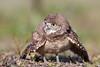 Owlet (Megan Lorenz) Tags: burrowingowl owl owlet bird avian birdofprey nature wildlife wild wildanimals florida mlorenz meganlorenz