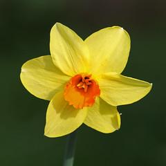 Daffodil (Treflyn) Tags: daffodil back garden earley reading berkshire uk