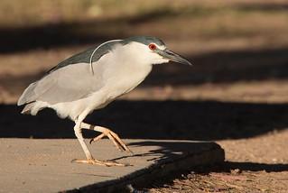Black-crowned Night heron adult Reid park az