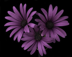 The Pink Daisy Trio (Bill Gracey 22 Million Views) Tags: flores fleur flowers color colorful homestudio blackbackground trio offcameraflash yongnuo yongnuorf603n macrolens macrophotography nature naturalbeauty naturephotography softbox softlight tabletopphotography daisy daisies