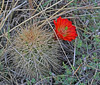 CAE011298a (jerryoldenettel) Tags: 180306 2018 blackspineclaretcup cactaceae caryophyllales claretcup coreeudicots echinocereus echinocereustriglochidiatus kingcupcactus kingscrowncactus nm oliverleestatepark oteroco robustclaretcup rosesclaretcup roseshedgehog spinelesshedgehog whitespinedclaretcup wildflower cactus flower