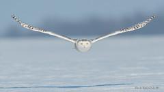 Say hello - owls are back (Earl Reinink) Tags: owl spring winter snow cold bird animal predator snowyowl earl reinink earlreinink flight nature photography niagara hiudhaudza