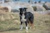(Flemming Andersen) Tags: animal bordercollie outdoor yatzy dog hund nature pet sea water hurupthy northdenmarkregion denmark dk