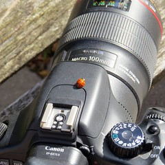Uncooperative ladybug. (Gillian Floyd Photography) Tags: ladybug ladybird camera lens