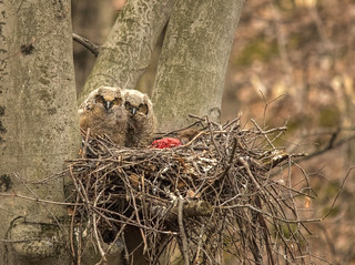 Fresh kill for the owlets....