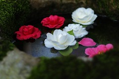 Floating Camellias (maco-nonch★R) Tags: 椿 tsubaki floating waterbasin washbasin stone elegance flowers colour color kioto kyoto japanese traditional trad beauty pretty mossed water basin canon eosm5 ef50mmf18stm 哲学の道 京都 reikanji temple tempo japon japan 日本 庭園 庭 decorated 苔 koke 水 水面 禅 zen historical allmanual manualexposure manualfocus manualwhitebalance selectivefocus