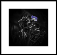 A splash of colour in a grey world. (timgoodacre) Tags: plant nature plants leaves stem stems blackwhite blackandwhite monochrome mono