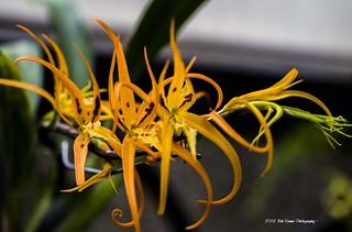 Orange Orchid .