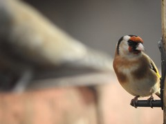 Is there something behind me? (Simply Sharon !) Tags: goldfinch bird gardenbird britishwildlife wildlife nature gardenvisitor inthegarden march