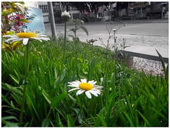 """""""Little pleasures of life ..."""" (Guilherme Alex) Tags: flower white yellow daisy pollen natural nature contrast world cutout blackandwhite flowers march green grass life plaza square day goodmorning morning live cityscape bench street people teofilootoni minasgerais brazil petals buildings busy colorful colors digitalcamera amateur beautiful wonderful nice my garden"""
