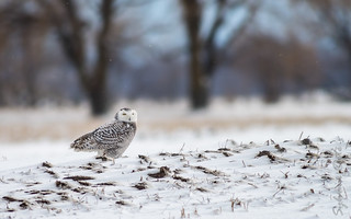 Harfang des neiges / Snowy Owl [Bubo scandiacus]
