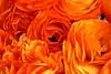 The Flowerfields (joeksuey) Tags: flowerfields ranunculus sandiego carlsbad california flower field ornamental bonsai spring poinsettia roses sunflower daisies columbine delphinium georgiaokeefe