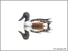Northern Shoveler Symmetry (pandatub) Tags: bird birds duck shoveler northernshoveler baylands paloalto reflection