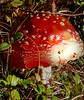 Once upon a time (evakongshavn) Tags: 7dwf flora sopp flyagaric rødfluesopp amanita amanitamuscaria fungus fungi new light red green color colour colorful colourful tiny tinytreasures tinytreasuresinflora