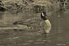 Goose....... (l_dewitt) Tags: canadageese canadagoose canadageeseimages goose geese geeseimages wildlifephotos wildlifeimages winter wildbird water waterfoulimages waterfoulphotos nature natureimages nationalwildlifemagazinephotogrouppool native northeast northamericanwildlife uswildlife northamericanwaterfoul connecticutwildlife ct newenglandwildlife nikon nikonwildlifephotos nikonimages nikonphotos d7100 nikond7100photos nikond7100 earthnaturelife globalbirdtrekkers mysticriver mystic birdwatching birdwatcher bw bwimages
