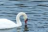 november 2014 lake katherine (timp37) Tags: swan lake katherine illinois november 2014 palos