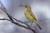 Orange-breasted Sunbird - Female (Anthobaphes violacea) (Tanager John) Tags: nature animal bird aves passerine sunbird africa southafrica anthobaphesviolacea