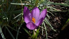 Crocus botaniques (jeanlouisallix) Tags: rouen seine maritime haute normandie france fleurs crocus flower plantes fenêtre jardinage jardin garden nature printemps