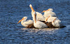 America white pelicans (explored 03/25/2018) (Lynn Tweedie) Tags: pellicans american white loess bluffs conservation bill yellow