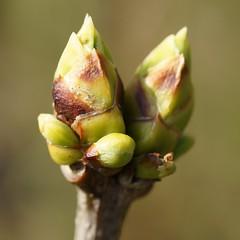 DSC06648c (Marcel Berbers) Tags: macro knoppen lentevoorjaar mychoice