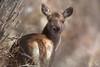 Une biche dans les buissons (Patrice Baud) Tags: biche reddeer hirsch sauvage cerdagne montagne nikon d7100 cervus
