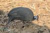Helmeted Guineafowl in the Half Light of Chobe National Park, Botswana (D200-PAUL) Tags: helmetedguineafowl guineafowlhelmeted guineafowl numidameleagris numididae numida chobechilwero chobenationalpark chobe nationalpark choberiver botswana paulfernandez
