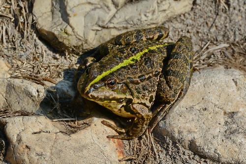 Озёрная лягушка, Pelophylax ridibundus, Marsh Frog