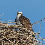 Osprey hanging out at the nest thumbnail