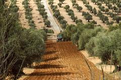Arando las olivas (JuanCarlossony) Tags: olivas tractor arado trastorista aceitunas aceite arboles sony slta58 70300mm