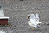 Accouplement de Goéland (jean-daniel david) Tags: oiseau oiseaudeau accouplement goéland duo toit gravier nature volatile sport acrobatie