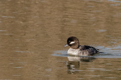 Bufflehead (Explored thank you very much) (Kevin E Fox) Tags: