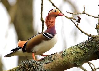 Mandarin duck in a tree