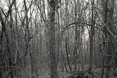 (Pentastar In The Style Of Demons) Tags: yashica yashicat5 ilford hp5 film filmisnotdead bw blackwhite ishootfilm iso400 forest landscape nature