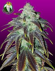 Sour-Jack (Watcher1999) Tags: sour jack herer sativa indica thc cbd cbn cannabis seeds medical growing plant marijuana smoking weed ganja
