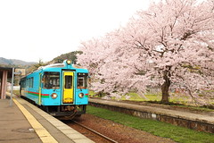 Station with sakura in full bloom (Teruhide Tomori) Tags: dmu tree flower sakura cherry train kyoto japon japan amino kyotango railroad railway kyototangorailway 京都丹後鉄道 丹後半島 夕日ヶ浦木津温泉 網野 京丹後 鉄道 日本 local 普通列車 spring platform station ktr